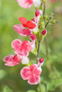 Salvia microphylla Hot Lips Royalty Free Stock Photo