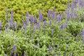 Salvia officinalis Royalty Free Stock Photo