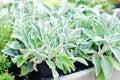 Salvia officinalis- Garden Sage Royalty Free Stock Photo