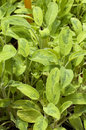 Salvia officinalis L. jecterina Royalty Free Stock Photo