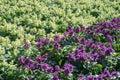Salvia splendens flower