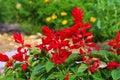 Salvia splendens or scarlet sage Royalty Free Stock Photo