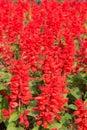 Salvia splendens scarlet sage or tropical sage in thailand Stock Images