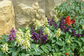 Salvia on stone wall background.