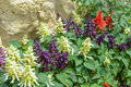 Salvia on stone wall background. Red, white, and purple Salvia.