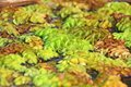 Salvinia Royalty Free Stock Photography