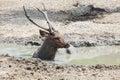 Sambar Deer Lying In Mud Pool ...
