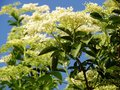 Sambucus nigra or common elder contest is commonly used in herbal medicine good for respiratory problems Stock Photography