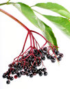 Sambucus nigra - Elder Royalty Free Stock Photography