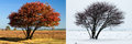 Same tree in summer and winter lone two seasons august februari Royalty Free Stock Images