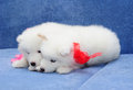 Samoyed (or Bjelkier) puppies Royalty Free Stock Images
