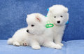 Samoyed (or Bjelkier) puppies Royalty Free Stock Image