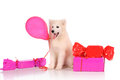 Samoyed dog with baloon and gift boxes isolated over white background Royalty Free Stock Photo