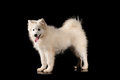 Samoyed dog isolated on black background Royalty Free Stock Images
