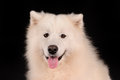 Samoyed dog isolated on black background Stock Photos