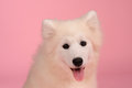 Samoyed dog isolated on pink background Stock Photos
