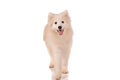 Samoyed dog isolated on white background Stock Photos