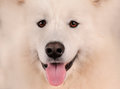 Samoyed dog portrait close up Stock Photography