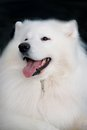 Samoyed dog portrait with open mouth (smiling).