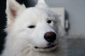Samoyed dog want to ask you a question Royalty Free Stock Photo