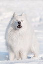 Samoyed dog winter portrait Royalty Free Stock Images
