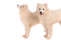 Samoyed dogs dog isolated on white background Stock Image