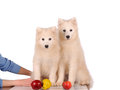Samoyed dogs dog isolated on white background Royalty Free Stock Image