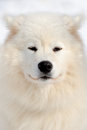 Samoyed portrait dog beautiful laika Royalty Free Stock Images