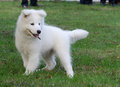 Samoyed puppy playing in grass Stock Image