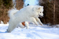 Samoyed puppy in winter forest Stock Image