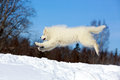 Samoyed puppy in winter snow Stock Photo
