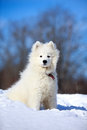 Samoyed puppy in winter snow Royalty Free Stock Image