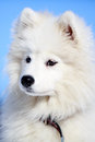 Samoyed puppy in winter snow Royalty Free Stock Photography