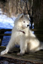 Samoyed puppy in winter snow Stock Image