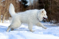 Samoyed puppy in winter snow Stock Photos
