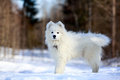 Samoyed puppy in winter snow Stock Photography