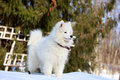 Samoyed puppy in winter snow Royalty Free Stock Photos