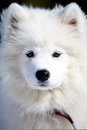 Samoyed puppy in winter snow Stock Images