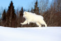 Samoyed puppy in winter snow Royalty Free Stock Photo