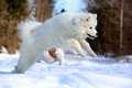 Samoyed puppy in winter walk Stock Photos