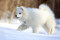 Samoyed puppy in winter walk Stock Photo