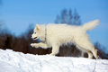 Samoyed puppy in winter walk Stock Image