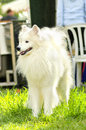 Samoyed a young beautiful white fluffy dog standing on the grass the sammy dog looks like a white wolf but it is very gentle sweet Stock Images