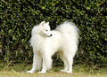 Samoyed a young beautiful white fluffy dog standing on the grass the sammy dog looks like a white wolf but it is very gentle sweet Royalty Free Stock Photo