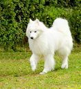 Samoyed a young beautiful white fluffy dog walking on the grass the sammy dog looks like a white wolf but it is very gentle sweet Royalty Free Stock Images
