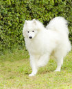Samoyed a young beautiful white fluffy dog walking on the grass the sammy dog looks like a white wolf but it is very gentle sweet Stock Photography