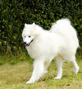 Samoyed a young beautiful white fluffy dog walking on the grass the sammy dog looks like a white wolf but it is very gentle sweet Stock Photos