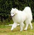 Samoyed a young beautiful white fluffy dog walking on the grass the sammy dog looks like a white wolf but it is very gentle sweet Royalty Free Stock Photos