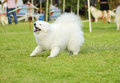 Samoyed a young beautiful white fluffy puppy dog standing on the grass barking the sammy dog looks like a white wolf but it is Stock Image