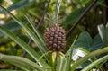 San francisco mini pineapple in park Photos stock
